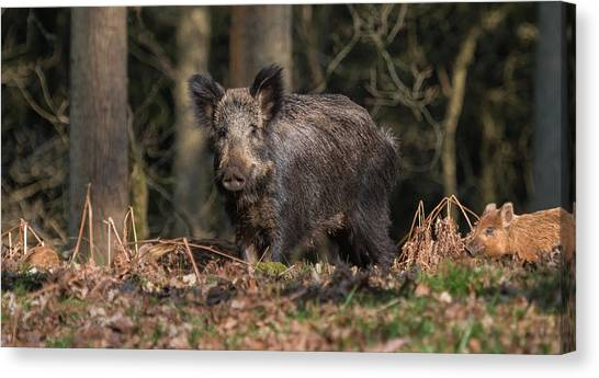 Wild Boar Sow And Young Canvas Print