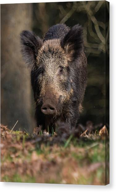 Wild Boar Sow Portrait Canvas Print