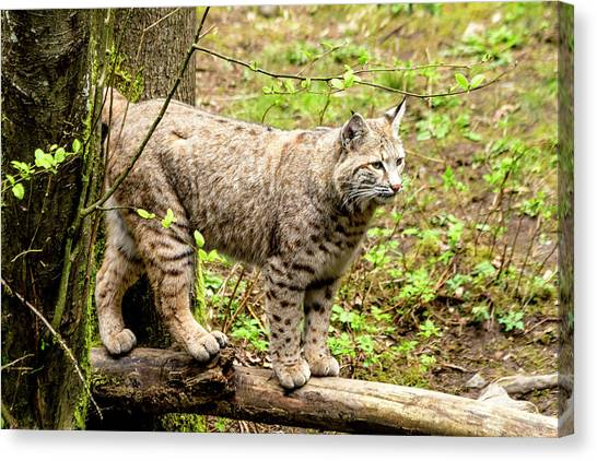 Wild Bobcat Canvas Print