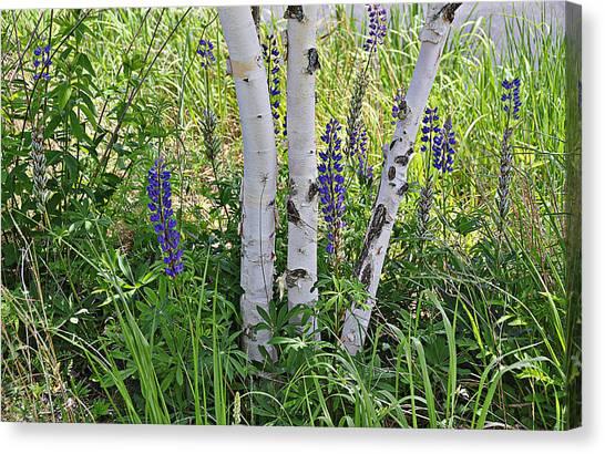 Wild Center Birches Canvas Print