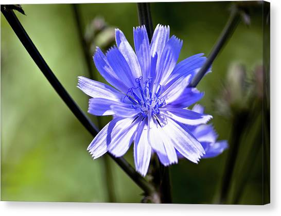 Wild Chicory Canvas Print by Ross Powell