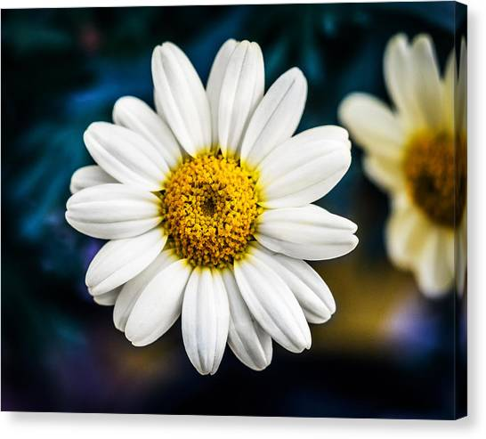 Canvas Print featuring the photograph Wild Daisy by Nick Bywater