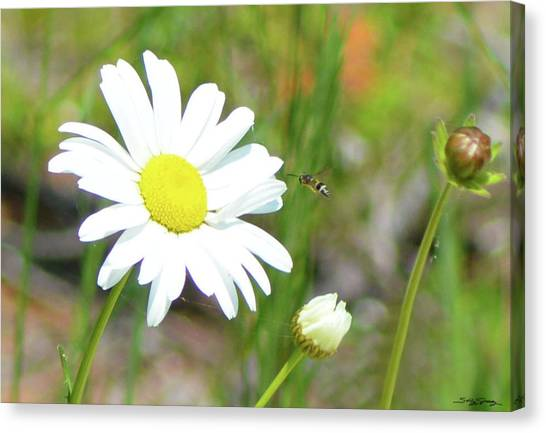 Wild Daisy With Visitor Canvas Print