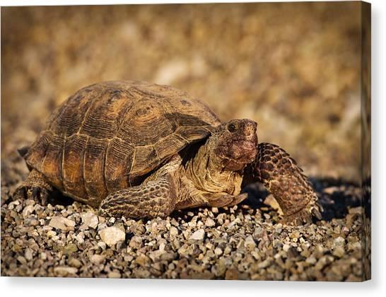 Tortoises Canvas Print - Wild Desert Tortoise Saguaro National Park by Steve Gadomski