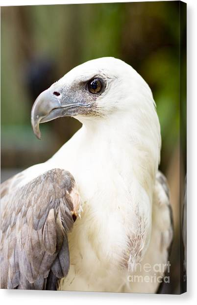 Accipitridae Canvas Print - Wild Eagle by Jorgo Photography - Wall Art Gallery