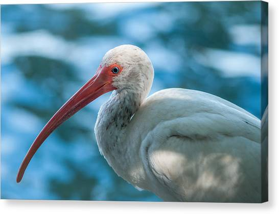 Wild Eyed Ibis Canvas Print