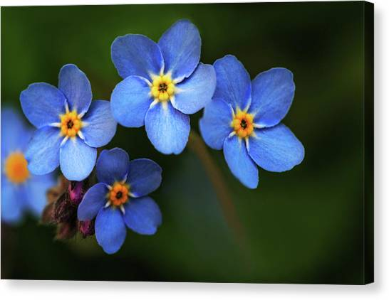 Wild Flower Forget-me-not Since The Middle Ages Symbolizes The Celestial Eye And Reminds You Of God Canvas Print