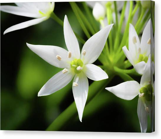 Canvas Print featuring the photograph Wild Garlic Flower by Nick Bywater