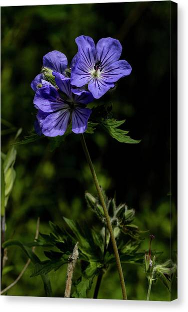 Canvas Print featuring the photograph Wild Geraniums by Fred Denner