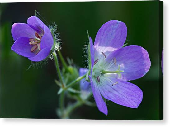 Wild Geraniums Canvas Print