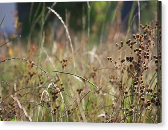 Wild Grass And Burrs Canvas Print by Jonathan Kotinek