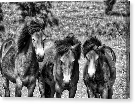 Wild Horses Bw1 Canvas Print