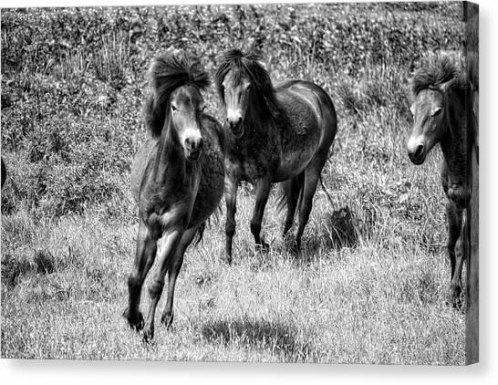 Wild Horses Bw4 Canvas Print