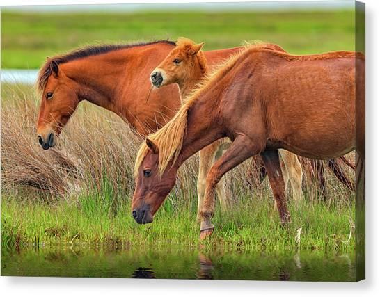 Maryland Horses Canvas Print - Wild Horses Of Assateague Island by Rick Berk