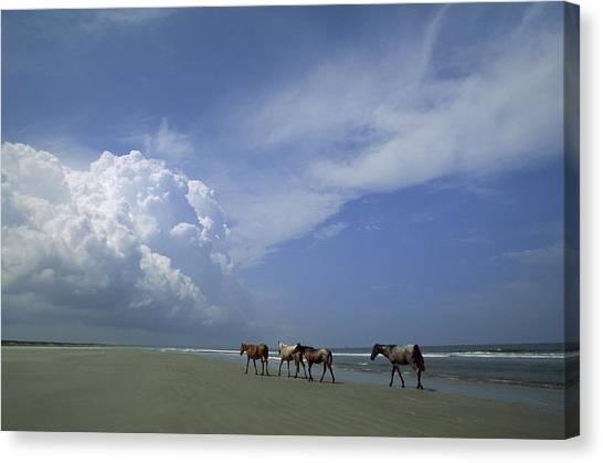Wild Horse Canvas Print - Wild Horses Roaming A Georgia Coast by Michael Melford