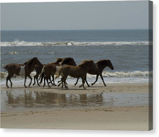 Maryland Horses Canvas Print - Wild  Horses Run On The Beach by Stacy Gold