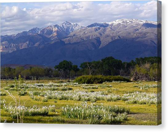 Wild Iris And The White Mountains Canvas Print
