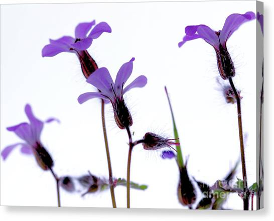 Wild Knotted Cranesbill Canvas Print
