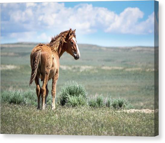 Wild Mustang Colt Of Sand Wash Basin Canvas Print