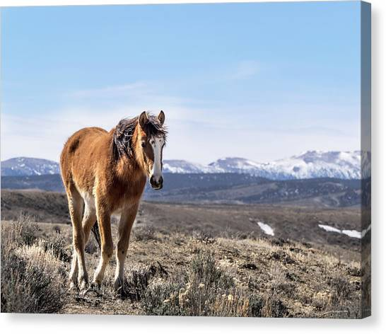 Wild Mustang Filly Of Sand Wash Basin Canvas Print