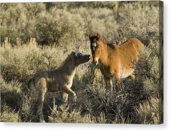 Wild Mustang Foal Horses Canvas Print