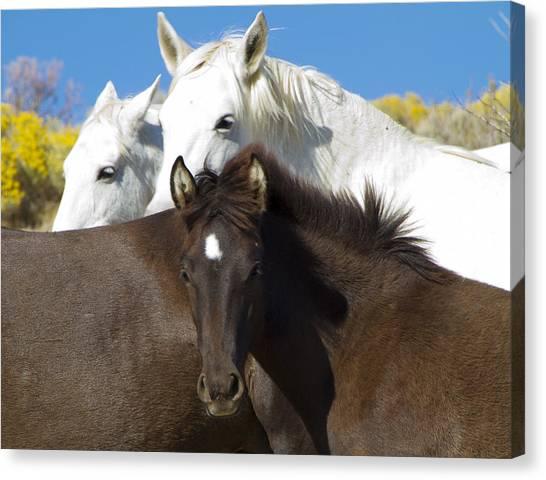 Wild Mustang Herd Canvas Print