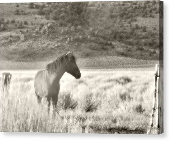 Wild Mustang Of Adobe Valley Eastern Sierra Canvas Print