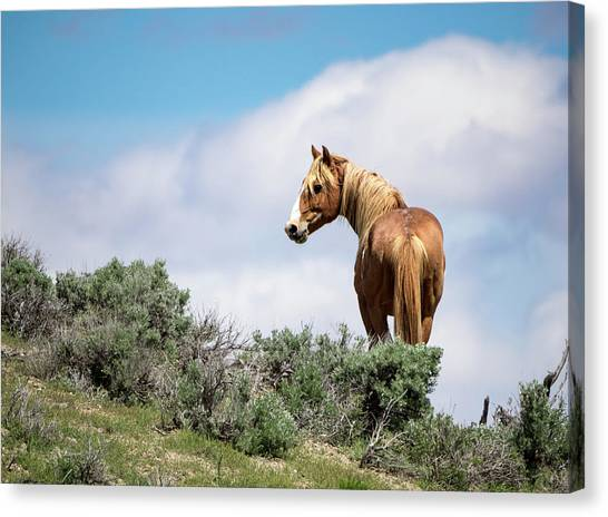 Wild Mustang Stallion Of Sand Wash Basin Canvas Print