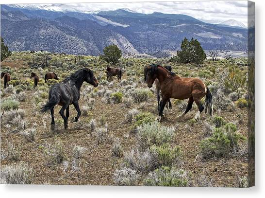 Wild Mustang Stallions Fighting Canvas Print