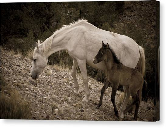 Wild Mustangs Of New Mexico 22 Canvas Print