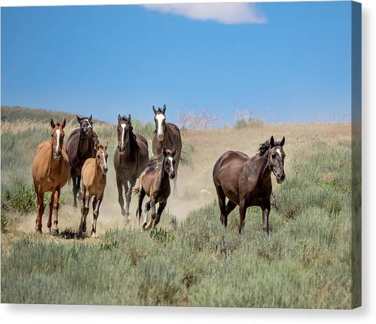 wild mustangs on the run to the water hole in Sand Wash Basin Canvas Print