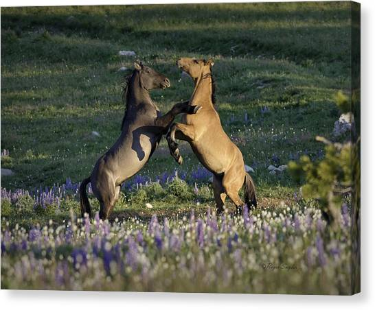 Wild Mustangs Playing 1 Canvas Print