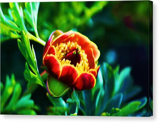 Wild Peony Canvas Print by Russell  Barton