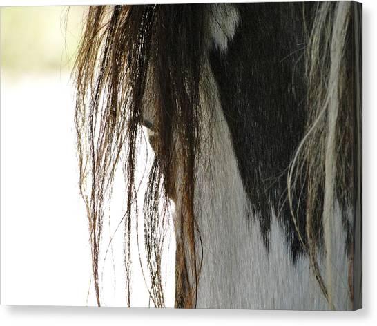 Wild Pinto Mustang Canvas Print