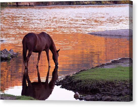 Wild Salt River Horse At Saguaro Lake Canvas Print
