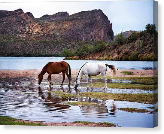 Wild Salt River Horses At Saguaro Lake Arizona Canvas Print