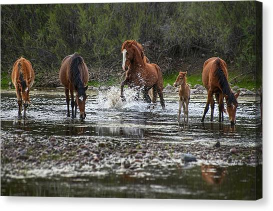 Wild Stallion In Salt River Canvas Print