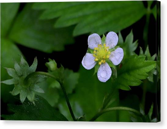 Wild Strawberry Blossom And Raindriops Canvas Print