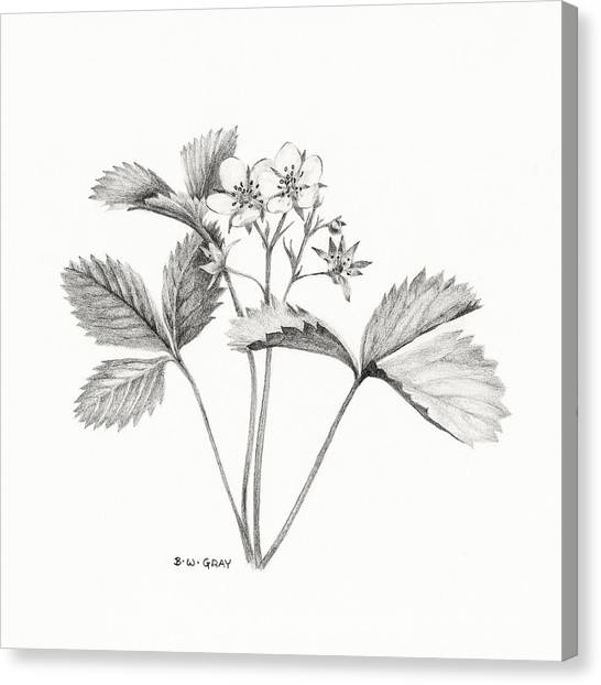 Wild Strawberry Drawing Canvas Print