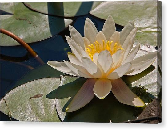 Wild Water Lilies Canvas Print by Louis Dallara