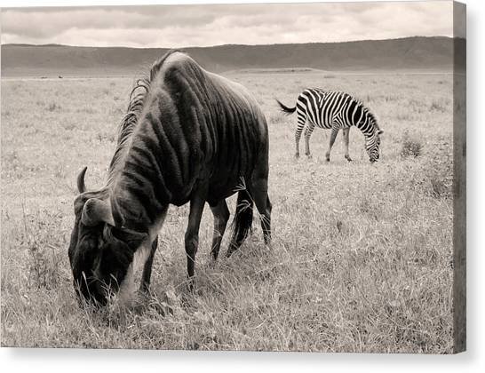 Wildebeest And Zebra Canvas Print