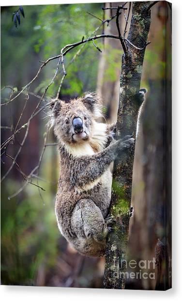 Koala Canvas Print - Wildest Dreams by Evelina Kremsdorf