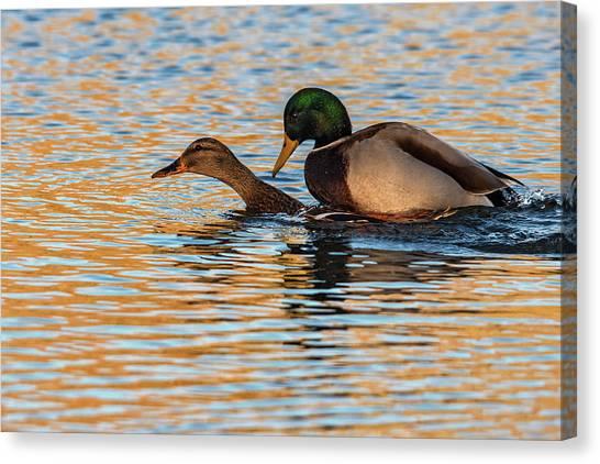 Wildlife Love Ducks  Canvas Print