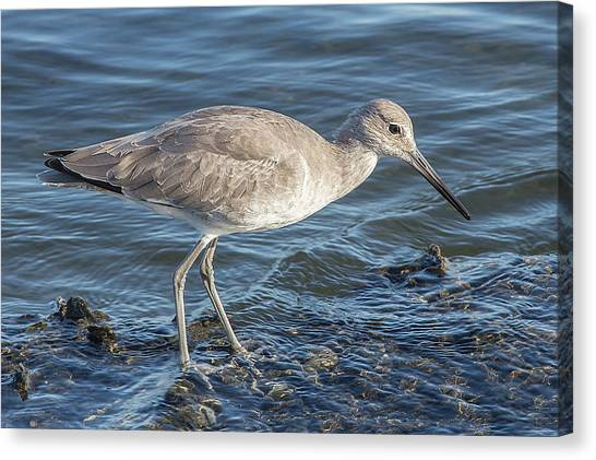 Willet In Winter Plumage Canvas Print