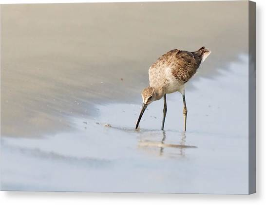 Willet On Beach Canvas Print