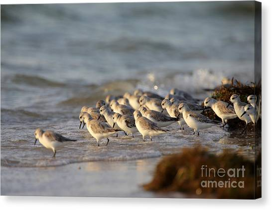 Willets On The Shore. Canvas Print by Rick Mann