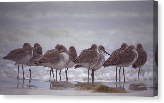 Willets  Canvas Print