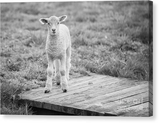 Williamsburg Lamb Canvas Print