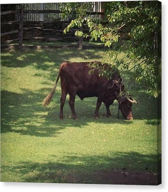 Virginia Canvas Print - #williamsburg #virginia #bull #grass by Pete Michaud