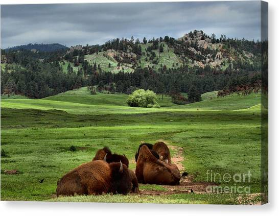 Wind Cave Bison Canvas Print